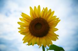 Sussex County Sunflower Maze