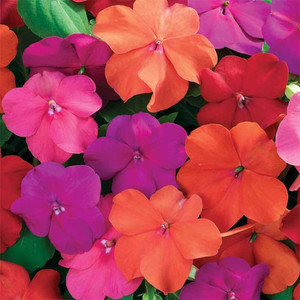 Annual Landscaping and Gardening: Impatiens Flowers