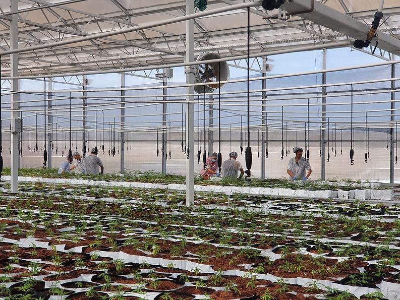 Intelicanna Cannabis Cultivation Farm.jp