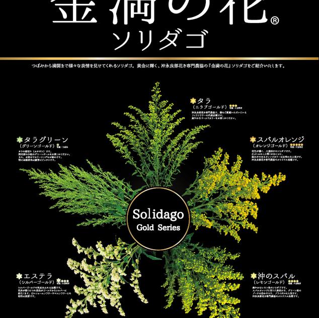 金満の花ソリダゴ