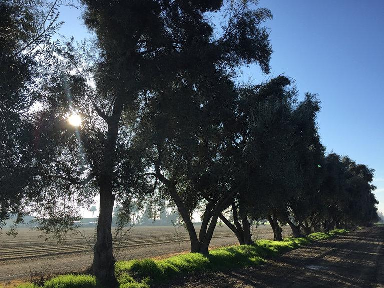 Organic Olive trees