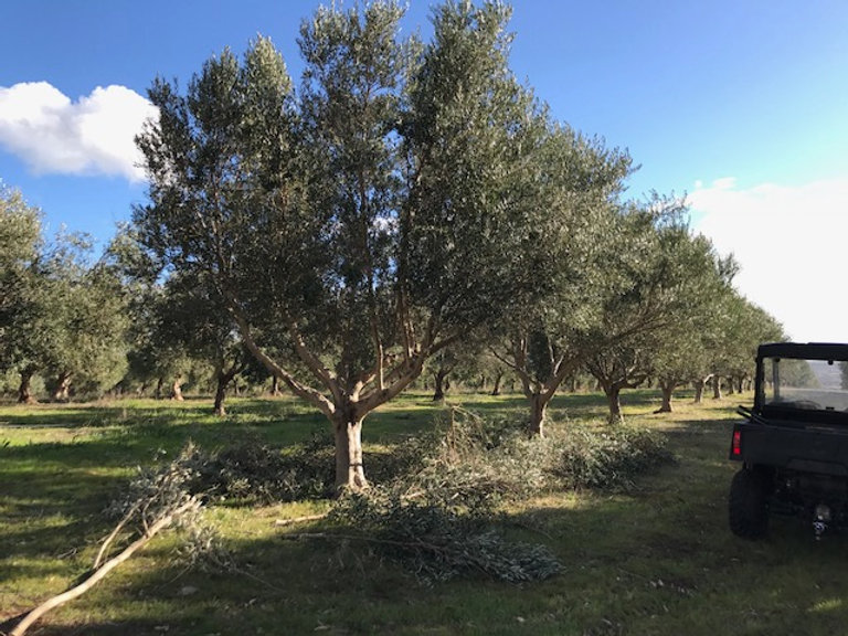 olive trees trimmed for machine harvesting