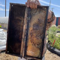 Harvesting honey at Treasure Island community garden
