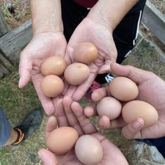 Preparing to incubate eggs from the Treasure Island chickens!
