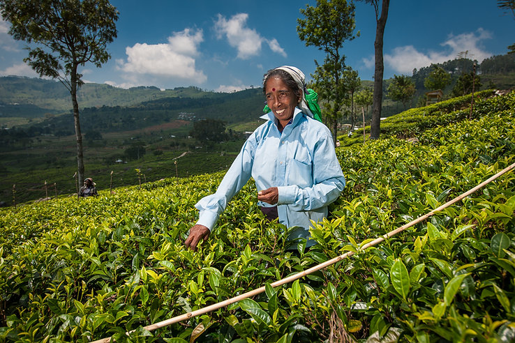 1033_Dambatenne_Tea_Picking_SL_©Dominic_
