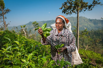 1033_Dambatenne_Tea_Picking_SL_©Dominic_