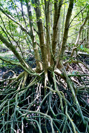 Mangroves roots.jpg