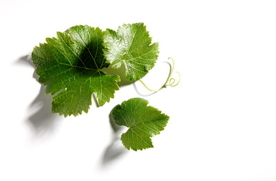 4451-Vine_leaf_1.jpg