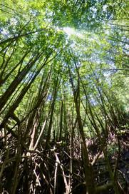 Monagroves Forest.jpeg