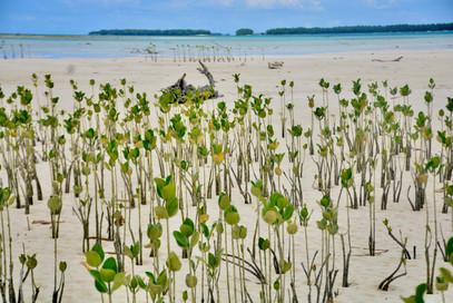 Mangroves.jpeg