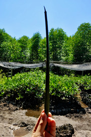 Mangroves Plantation 3.jpeg