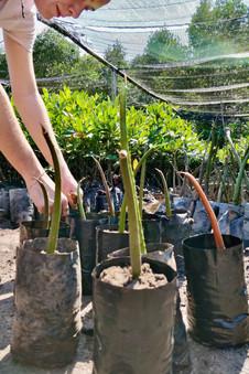Anne Sophie Roux Planting a mangroves.jp