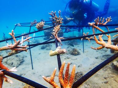 DoDo For Tenaka coral nurseries.png