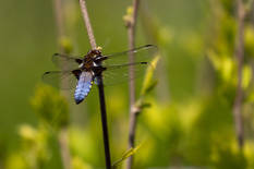 Board Bodied Chaser