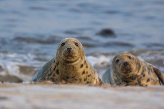 Seals of Horsey Beach