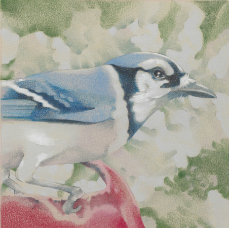 Blue Jay on Red Bucket