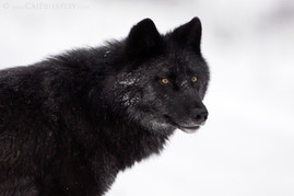 Black Wolf Portrait 2