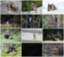 CANADIAN WILDLIFE 2019 THUMBNAILS copy.j