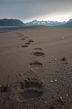 Grizzly Bear Tracks