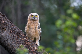 Great Horned Owl Chick 1