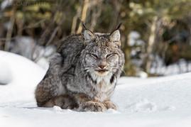Canadian Lynx 5