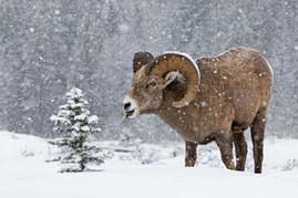 Bighorn Ram Blizzard 1