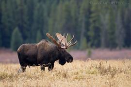 Bull Moose Fall