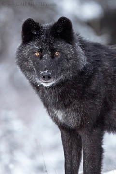 Black Wolf Portrait 4