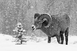 Bighorn Ram Blizzard B&W