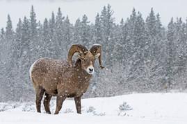 Bighorn Ram Blizzard 2