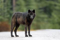Black Wolf Rain 1