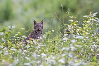 Canadian Lynx 4