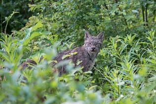 Canadian Lynx 9