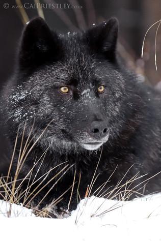 Black Wolf Portrait 3