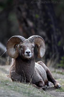 Bighorn Ram Portrait 3