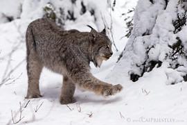 Canadian Lynx 12