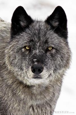 Grey Wolf Portrait 3