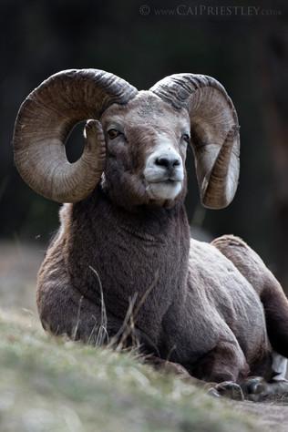 Bighorn Ram Portrait 2