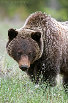 Grizzly Bear 8