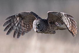 Great Grey Owl Flight 2