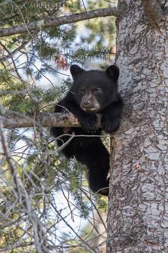Black Bear Cub 5
