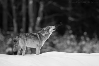 Howling Wolf B&W