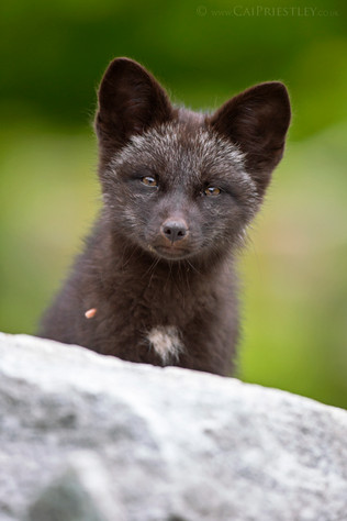 Black Fox Kit Portrait 1