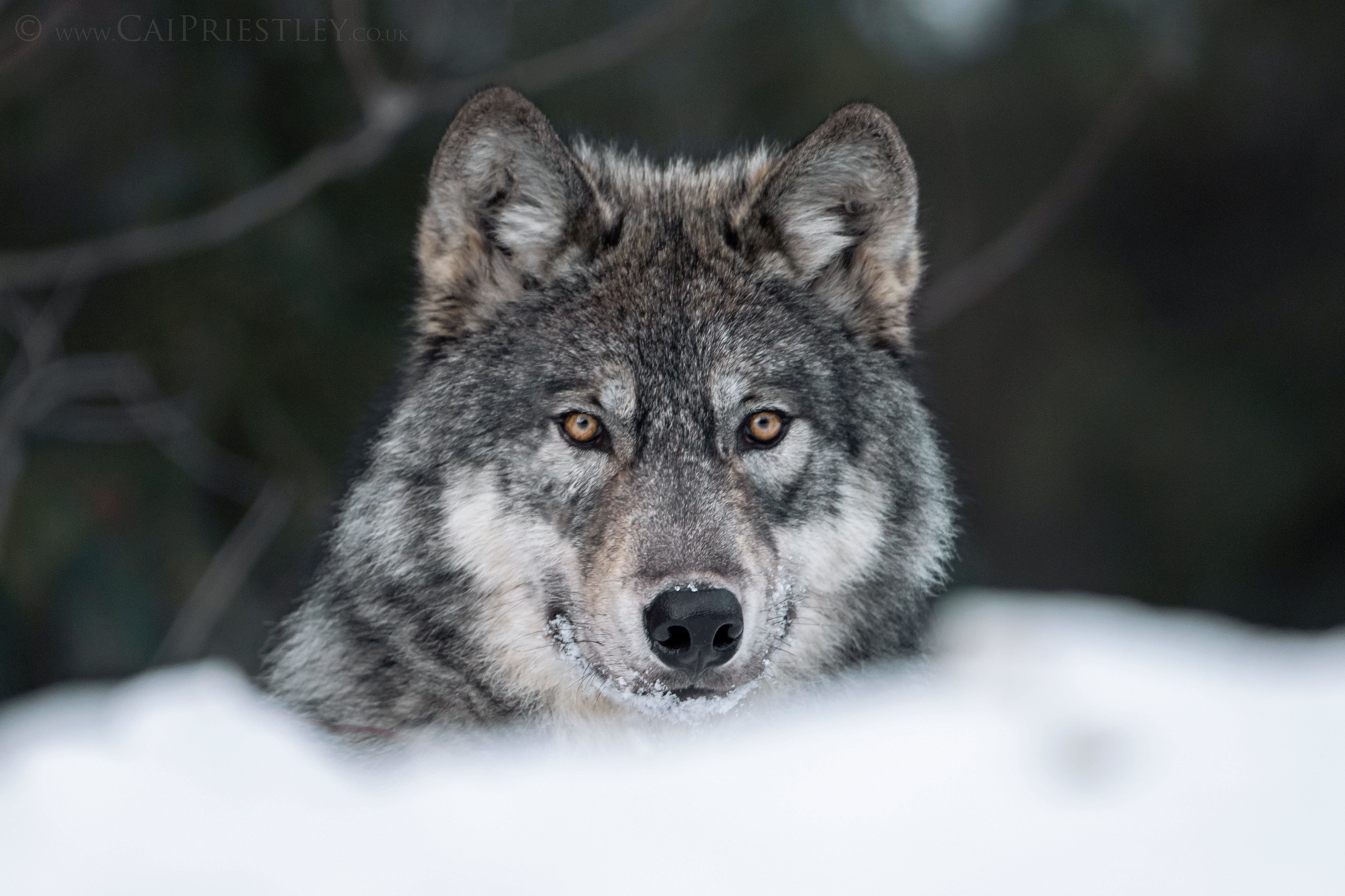 The National Tooth And Claw Photography Wolf Portrait