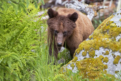 Grizzly Bear 4