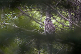 Great Grey Owl Chick 2