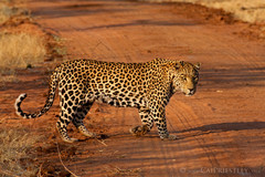Leopard Crossing