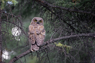 Great Horned Owl Chick 2