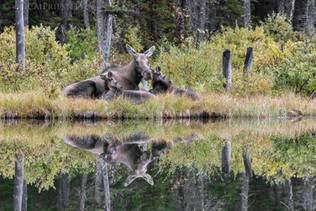 Moose Family Reflection