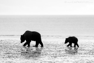 Grizzly Sow And Cub B&W